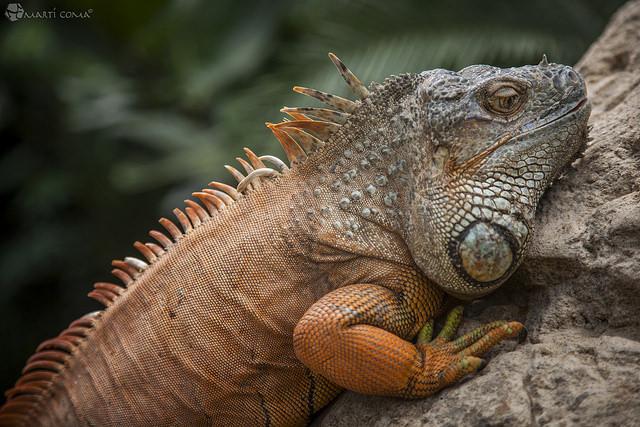 """""""Iguana"""""""